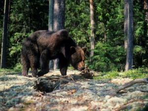 destino-estonia-oso-naturaleza-viajes