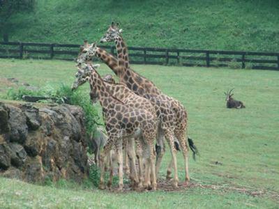 parque-cabarceno-jirafas-cantabria