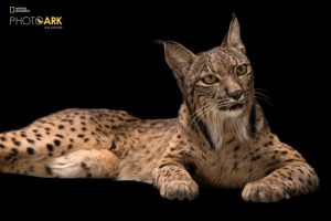 An endangered Iberian lynx (Lynx pardinus) at the Madrid Zoo. This cat has made a remarkable comeback on the Iberian peninsula thanks to captive breeding efforts of both the Lynx and their primary prey, wild rabbits.  From a low of approximately 90 Lynx a few years ago, there are more than 400 Lynx today.